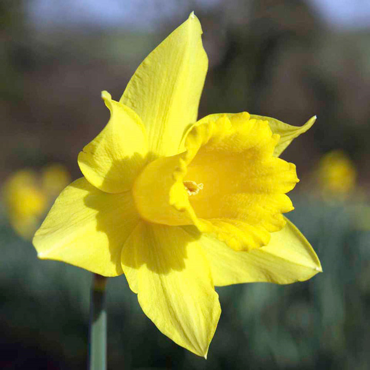 Daffodil (Cornish) Bulbs - Continuity Collection