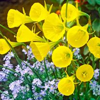 Daffodil Bulbs - Hoop Petticoat
