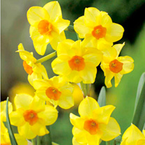 Yellow flowers flowers by colour flowers garden dobies daffodil cornish bulbs martinette mightylinksfo