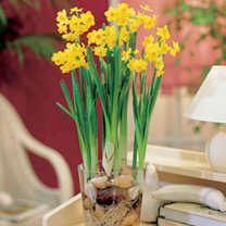 Narcissus (Indoor) Bulbs - Grand Soleil d'Or