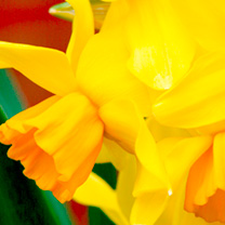 Daffodil (Cornish) Bulbs - Cornish Chuckles