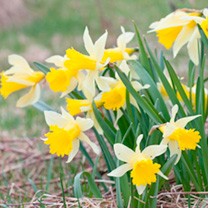 Image of Daffodil (Native British) Bulbs