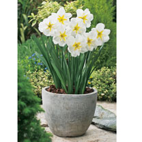 Daffodil (Split Corolla) Bulbs - Lemon Beauty