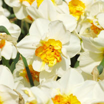 Image of Daffodil Double Bulbs - Flower Drift