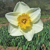 Daffodil (Cornish) Bulbs - Irish Minstrel