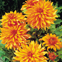 Image of Dahlia Tubers - Autumn Fairy