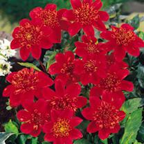 Dahlia Tubers - Inca (Anemone)