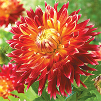 A striking coloured large dahlia with dark red blooms turning to yellow. Flowers July-October. Height 90cm (3'). Decorative type. Eye-catching plants