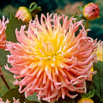 A decorative yellow and pink dahlia. Flowers June/July-October. Height up to 110cm (3'9). Cactus type. Eye-catching plants for borders or cutting! (Pl