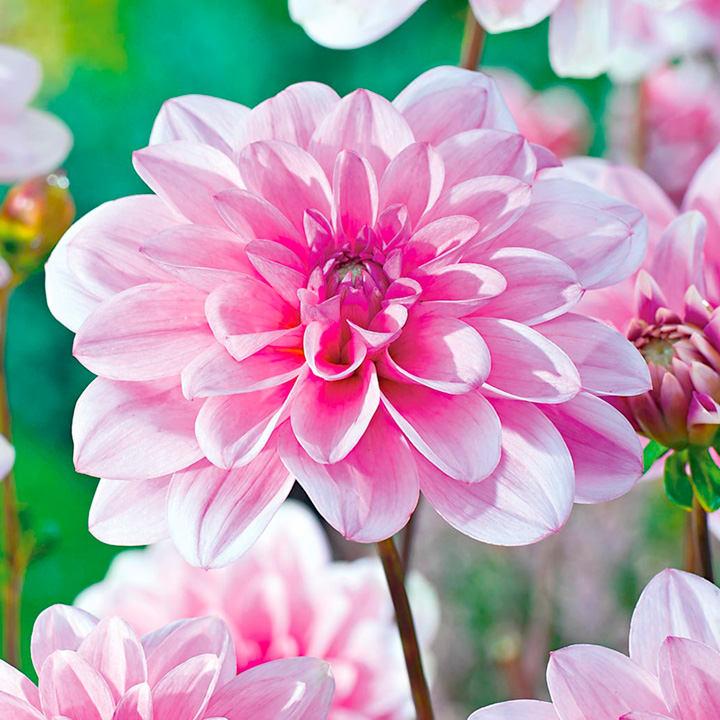 Dahlia Tubers - Pink Perception