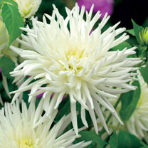 Dahlia Fimbriata Twin Pack - Black Touch & Playa Blanca