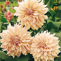 Pale, peachy pink decorative dahlia. Flowers July-September. Height 1. 2m (4'). Eye-catching plants for borders or cutting! (Please note: We are not n