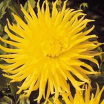 Large heads of bright yellow, upward pointing petals. Flowers July-October. Height 100cm (3'). Cactus type. Eye-catching plants for borders or cutting