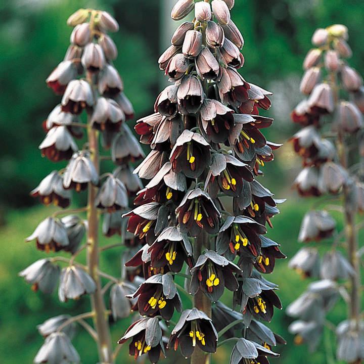 Fritillaria Bulb - Persica
