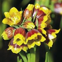 Fritillaria Bulbs - Michailovskyi