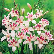 Gladiolia Corms - Impressive