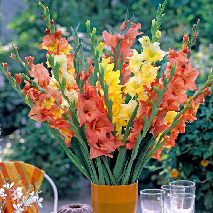 Gladiolus Corms - Tutti Frutti Mix