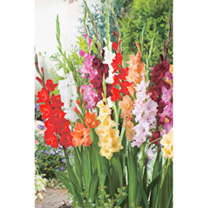Gladioli Corms - Summer Selection