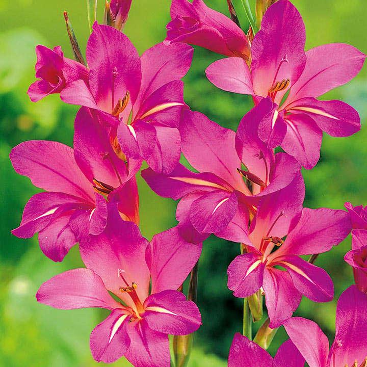 Gladiolus communia Bulbs - subsp. Byzantinus
