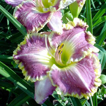 Hemerocallis Bulbs - Best Seller