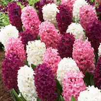 A harmonious blend of white, pink and maroon shades. Beautiful! OUTDOOR VARIETY. Flowers March-April. Height 25cm. Bulb size 15/16cm. (Bulb sizes quot