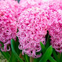 Image of Hyacinth Bulbs (Indoor) - Pink Pearl