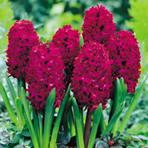 Image of Hyacinth Bulbs - Woodstock