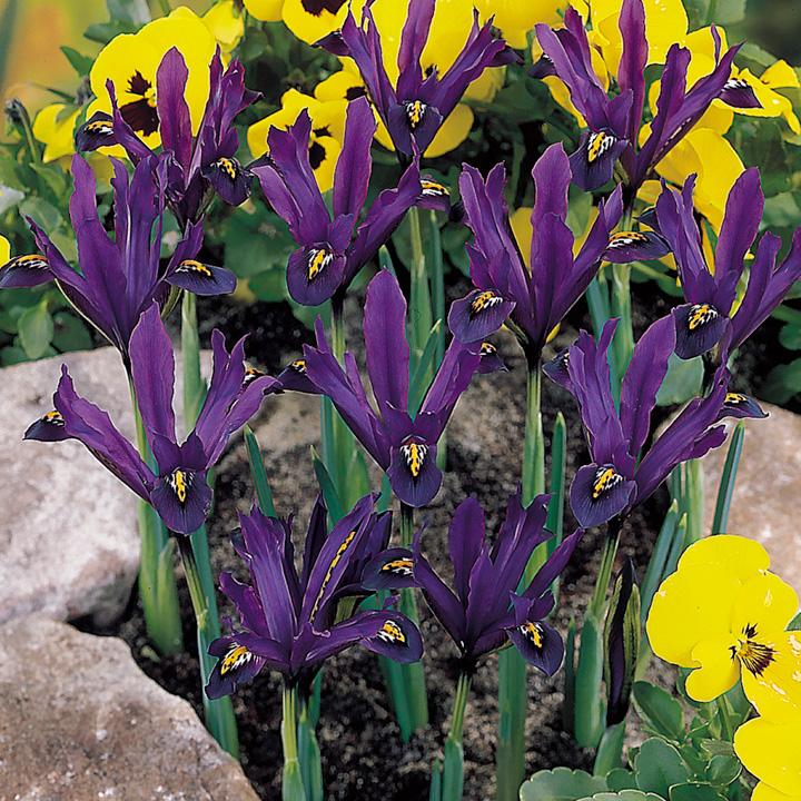 Iris reticulata Bulbs - J S Dijt