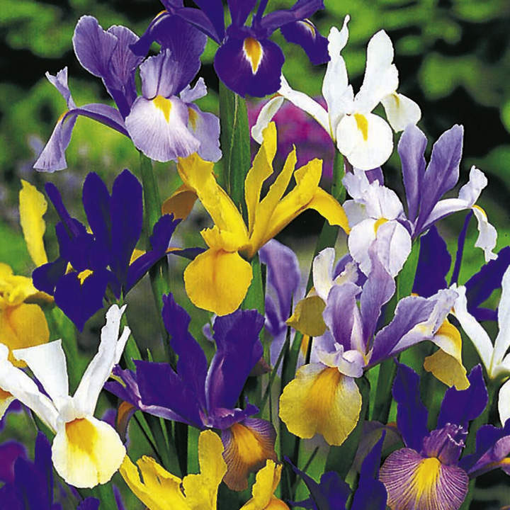 Iris Bulbs - hollandica Mix