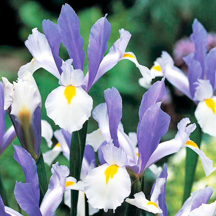 Iris hollandica Bulbs - Silver Beauty
