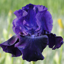 Iris Germanica Bulbs - Rosalie Figge
