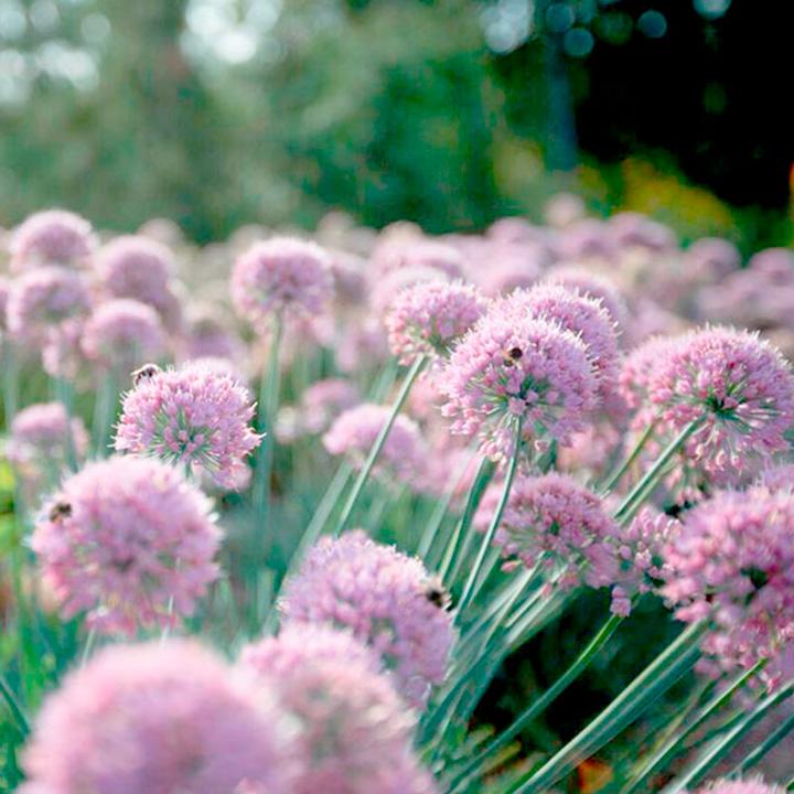 Allium Plant - In Orbit