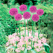 Plant-O-Tray Classic Preplanted Bulbs - Allium