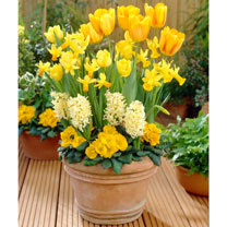 Container Companions Bulbs - Sunrise