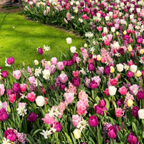 Tulip Bulbs - Delightfully Dutch Mix