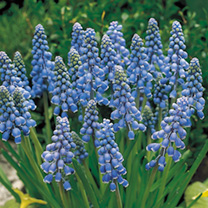Muscari Bulbs - Armeniacum