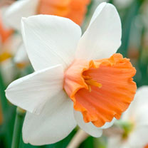 Daffodil Bulbs - Chromacolour