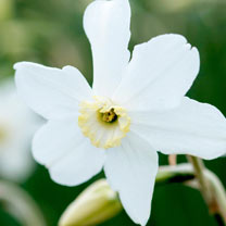 Narcissus Bulbs - Polar Ice