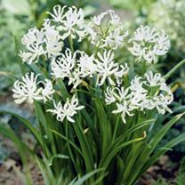 Nerine bowdenii Bulbs - Alba