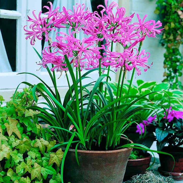 Nerine bowdenii Plant