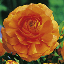 Ranunculus Orange Bulbs