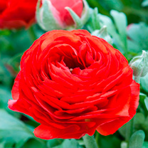 Ranunculus Bulbs - Red