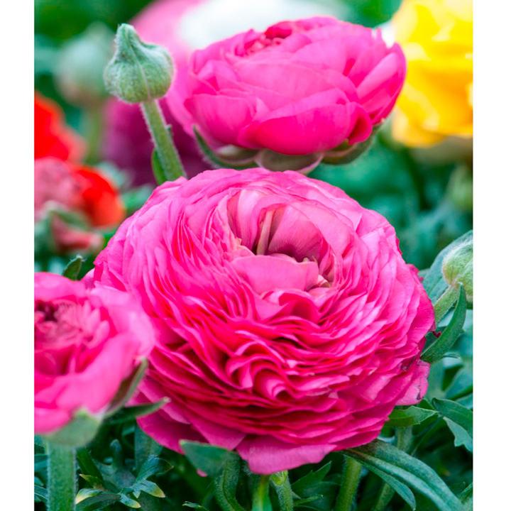 Ranunculus Bulbs - Pink