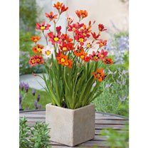 Sparaxis Bulbs - Tricolour Mix
