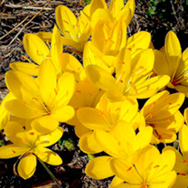 Delightful golden-yellow, crocus-like blooms. Sometimes referred to as the winter daffodil due to the colour of its flowers. Ideal for naturalising. R