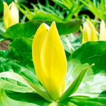 Trillium luteum (Yellow Wakerobin)