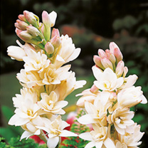 Polyanthes tuberose Tubers - The Pearl