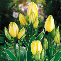 Tulip Bulbs - Antoinette (Chameleon)