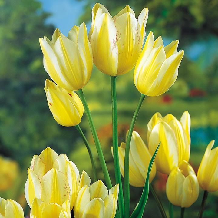 Tulip Bulbs Antoinette Chameleon Dobies