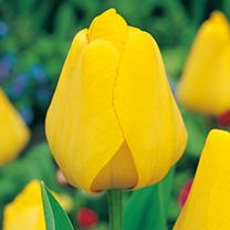 Tulip Bulbs - Golden Oxford